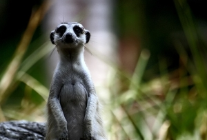 Ubuntu 10.10 Maverick Meerkat Beta disponible