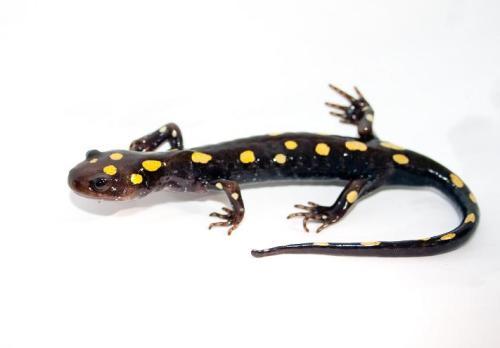 ubuntu_Salamander